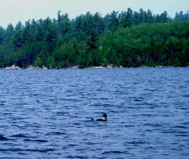 Baby Loon sighting while boater is threatened by papa loon nearby.