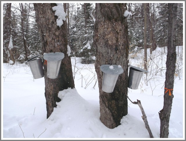 Maple syrup time is here - for Spring 2013 page