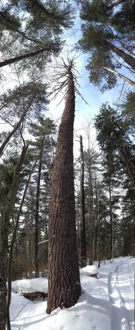tree2-Bob Olajos